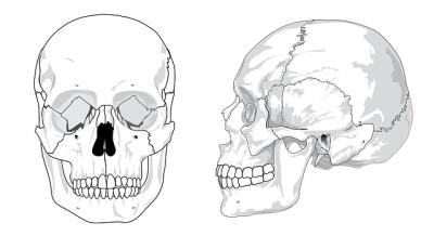 頭蓋骨 縫合 顔骨