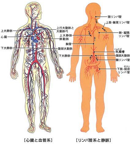 血管 リンパ